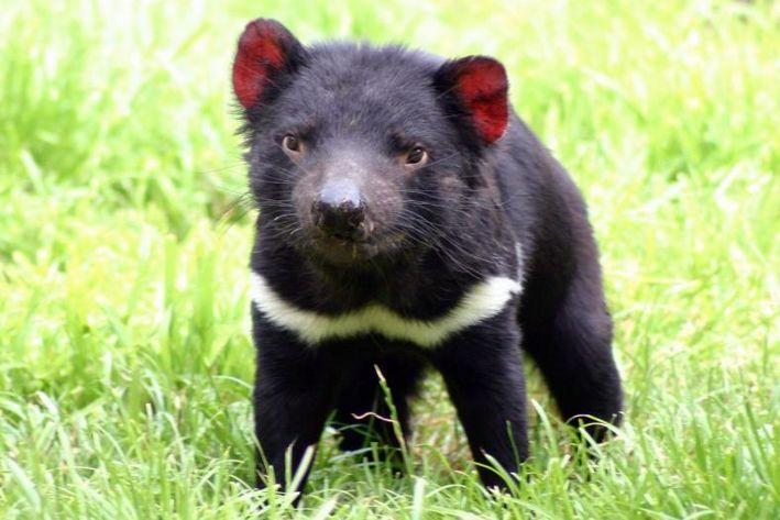 Tudomány-orvostudomány-egészség-állatok-Ausztrália