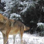 Ritkán láthatunk ilyen jó minőségű közelképeket egy teljes farkasfalkáról (VIDEÓval)