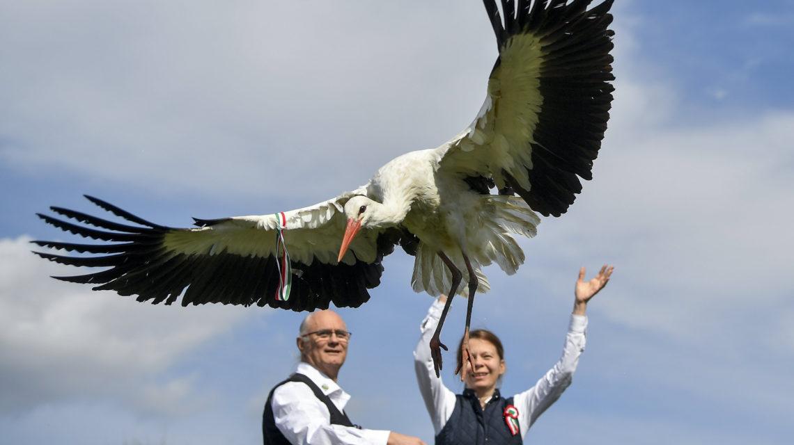 12 kokárdával ékesített, meggyógyított gólyát engedtek szabadon a Hortobágyon