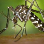 Génmódosított szúnyogokat engedhetnek szabadon Amerikában