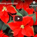 A mikulásvirág gondozása – Videó