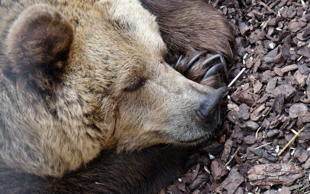 Nincs kizárva, hogy két medve van Miskolcon, beszáll a lovas polgárőrség is a keresésbe