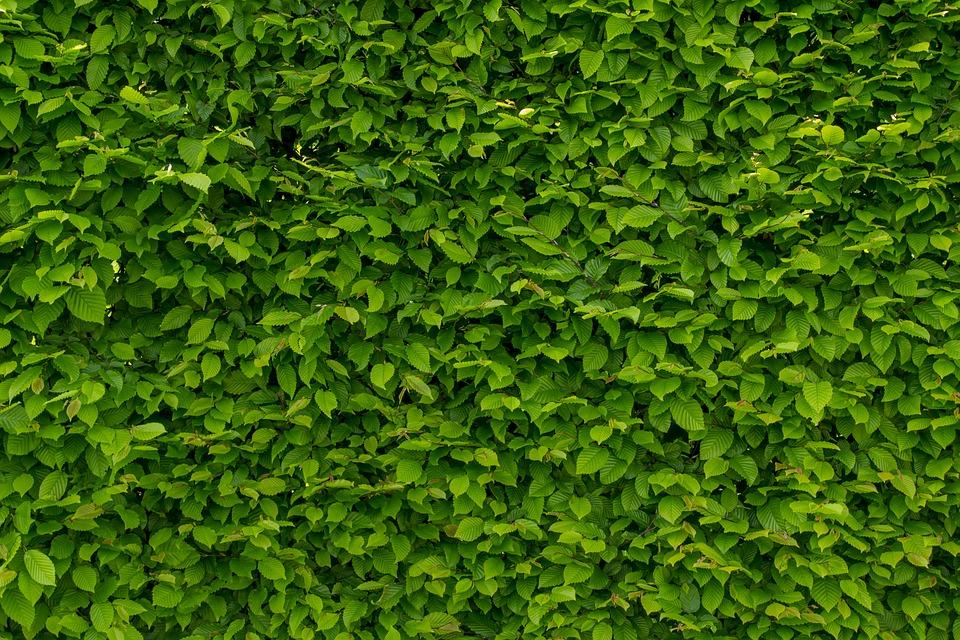 Gyorsan növő sövények, melyek áthatolhatatlan sövényt alkotnak