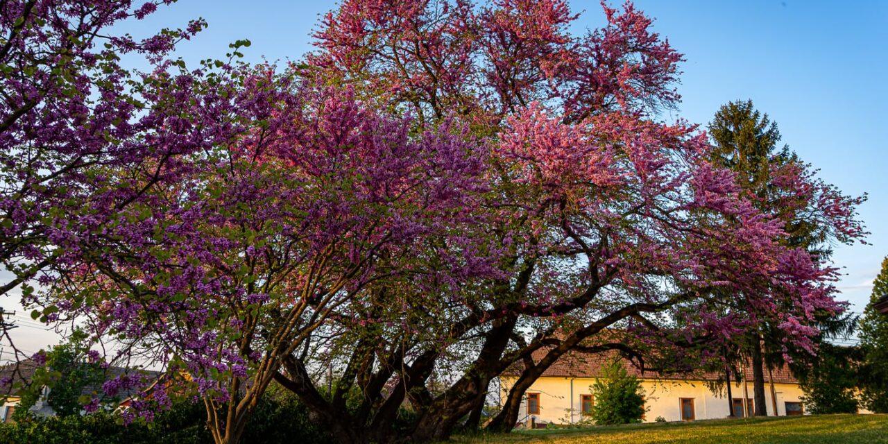 A mélykúti júdásfa lett 2020-ban az Év fája