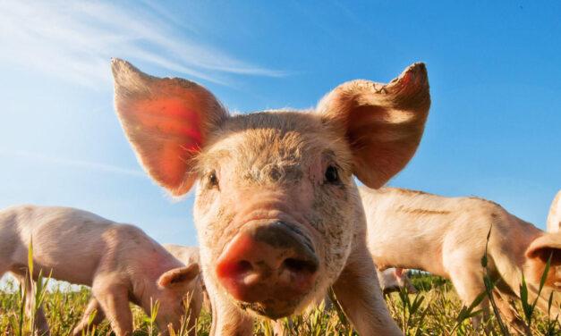 A magyar állattenyésztés is felelős az esőerdőgyilkos szója ügyében