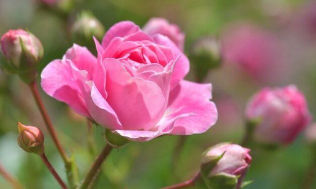 Rózsa gondozása – Részletes útmutató